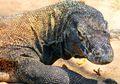 Komodo Hanya Ada di Indonesia, Kenapa Ia Tidak Pergi Menjelajah, ya?