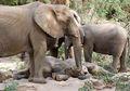 Gajah Bisa Tidur Sambil Makan, lo! Lihat Juga Fakta Unik Lainnya, yuk!