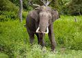 Sedih, Gajah di Kamboja Sering Terluka Karena Jebakan Buatan Manusia
