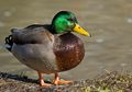 Bebek Termasuk Burung, Cari Tahu Lebih Banyak Tentang Hewan Ini, Yuk!
