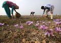 Dihargai Rp11 Juta per Kg, Saffron Jadi Rempah Paling Mahal di Dunia, Apa Alasannya?