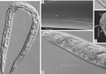 Cacing Ini Telah Membeku 40.000 Tahun tapi Berhasil Dihidupkan Kembali