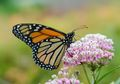 Dahulu Dibenci, Kini Milkweed Dicintai Demi Populasi Kupu-kupu Monarch