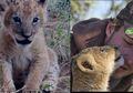 Singa Kecil Ini Diselamatkan Pria, 4 Tahun Kemudian Lihatlah Bagiamana Ia Membalas Kebaikannya