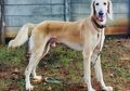 Saluki, Anjing yang PertamaDipelihara di Dunia. Apa Keistimewaannya?
