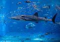 Hiu Paus, Ikan Terbesar yang Masih Hidup di Bumi Hingga Sekarang