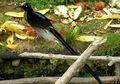 Paruh-Sabit Coklat, Burung yang Tak Kalah Indah dyngan Cendrawasih