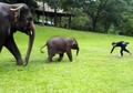(Video) Pernah Lihat Bayi Gajah Meniru Gerakan Manusia? Begini Tingkah Lucunya yang Bikin Gemas!