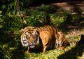 Memangsa Tiga Kambing Milik Warga, Harimau Sumatra Ditangkap