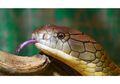 King Kobra, Bisanya Mampu Membunuh 20 Manusia Dewasa Sekaligus