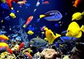 Bukan Dipelihara di Akuarium, Ikan Hias di Mikronesia Malah Dimakan