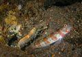 Ikan Goby dan Udang Pistol, Makhluk Laut yang Saling Menguntungkan