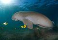 Ingin Memiliki Pengalaman Berenang Bersama Dugong? Kunjungi Tempat Ini
