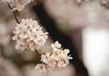 Wah! Ada Bunga Sakura Tumbuh di Indonesia, di Mana Ya?