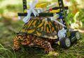 Cangkangnya Terluka Parah, Kura-kura Ini Harus Pakai Kursi Roda