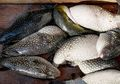 Sering Dikonsumsi di Indonesia, Ikan Buntal Ternyata Mengandung Racun yang Lebih Berbahaya dari Sianida