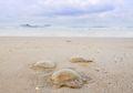 Pertama Kalinya, Ratusan Ubur-ubur Muncul di Perairan Pantai Ancol