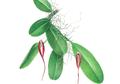 Bulbophyllum irianae,  Spesies Anggrek Baru Yang Ditemukan di Papua