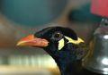 Burung Beo dan Kakatua Bisa Menirukan Suara Manusia, Mengapa Begitu?