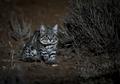 Meskipun Ukurannya Kecil dan Imut, Kucing ini Jadi Hewan Paling Ganas