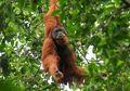 Tidak Hanya Manusia, Gara-gara Karhutla Orangutan pun Terkena ISPA