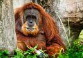 Hutan di Rawa Tripa Berkurang, Kehidupan Orangutan Sumatra Terancam