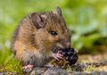 Akibat Perubahan Iklim, Populasi Tikus Meningkat Sepuluh Kali Lipat