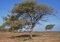 Pohon Bidara, Pohon dengan Sejuta Manfaat, Pernah Tahu?