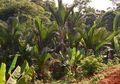 Pohon Sagu, Penghasil Makanan Pokok di Indonesia Timur, Pernah Tahu?