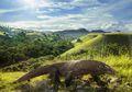 Mengapa Komodo Hanya Ditemukan di Indonesia? Ini Penjelasannya