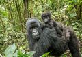 Kabar Baik, Keberadaan Gorila Pegunungan Mulai Mengalami Peningkatan