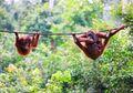 Cagar Alam Jantho Menjadi Rumah Baru Bagi Orangutan Sumatera