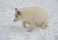 Ternyata, Hewan di Arktika Suka Makan Salju Supaya Tidak Kehausan