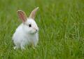 Studi: Kelinci Jadi Lebih Besar dan Kuat Jika Memakan Fesesnya Sendiri