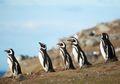 Ribuan Penguin Terdampar dan Tak Bisa Kembali ke Habitatnya, Mengapa?