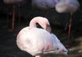 Akibat Kekeringan, Ratusan Flamingo di Afrika Selatan Terpaksa Dipindahkan