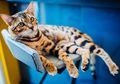Kucing Belang Tiga Pasti Berjenis Kelamin Betina? Begini Penjelasannya