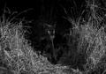 'Black Panther' Langka Ditemukan di Afrika Pertama Kalinya Sejak 100 Tahun