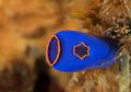 Sea Squirt, Makhluk Kecil yang Menyerap Polusi Plastik Lautan