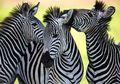 Peneliti Mengungkapkan Fungsi Garis Hitam-Putih di Tubuh Zebra