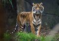 Habitatnya Terancam, Harimau Benggala Rentan Alami Kepunahan