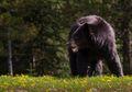 Dua Beruang Hitam Terekam Sedang Bertengkar di Pekarangan Rumah Warga
