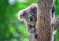 Hampir 500 Juta Hewan Mati Akibat Kebakaran Hutan di Australia, Koala Paling Menderita