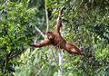 Rayakan Momen Lulus Sekolah, Lihat Foto-foto Momen Kebahagiaan Orangutan Sumatra di Habitatnya