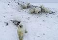 Lapisan Es Semakin Hilang, 61 Beruang Kutub Mencari Makan Hingga ke Desa