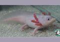 Axolotl, Ikan Berjalan Dari Meksiko