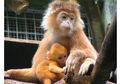 Surili, Primata Berjambul