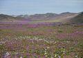 Gurun Terkering di Dunia Ditumbuhi Bunga!