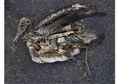 Banyak Hewan Laut Makan Plastik, Kenapa?