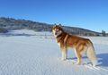 Siberian Husky, Anjing yang Mirip Serigala